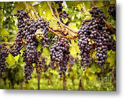 Red Grapes In Vineyard Metal Print by Elena Elisseeva