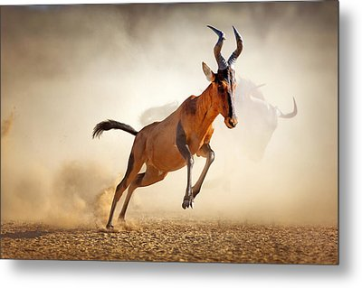 Red Hartebeest Running In Dust Metal Print by Johan Swanepoel