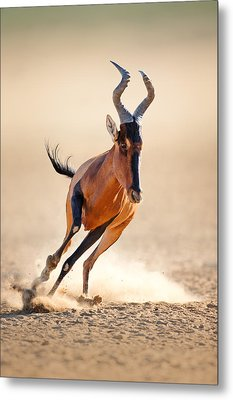 Red Hartebeest Running Metal Print by Johan Swanepoel