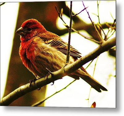 Metal Print featuring the photograph Red Headed House Finch by B Wayne Mullins