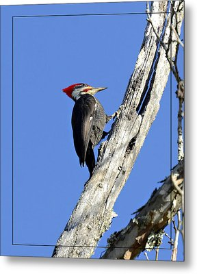 Red Headed Woodpecker Metal Print by Susan Leggett