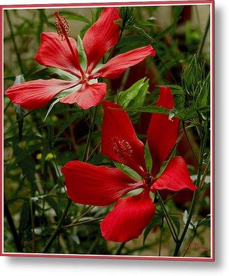 Red Hibiscus Blooms Metal Print