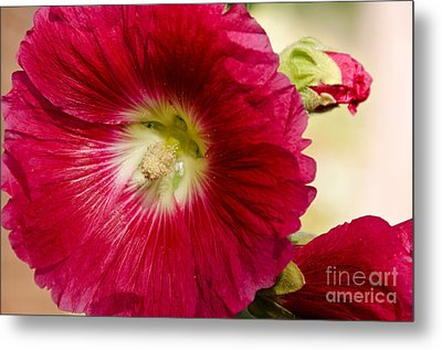 Red Hollyhock Althaea Rosea Metal Print by Sue Smith