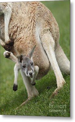 Red Kangaroo Joey Metal Print