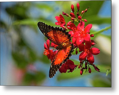 Red Lacewing Butterfly (cethosia Biblis Metal Print