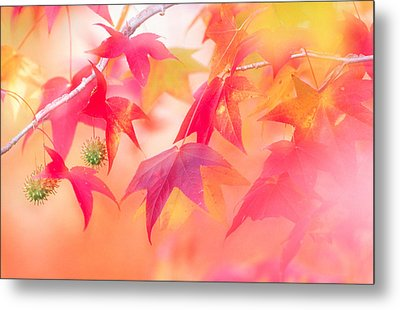 Red Leaves With Backlit, Autumn Metal Print by Panoramic Images