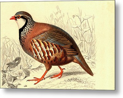 Red-legged Partridge Metal Print by Collection Abecasis