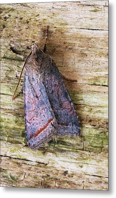 Red Line Quaker Moth Metal Print by David Aubrey