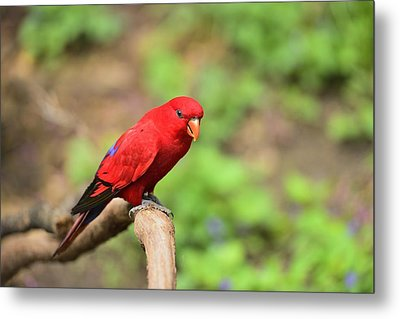 Red Lory Metal Print by Photography  By Sai