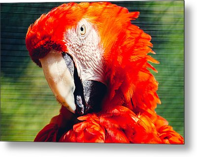 Red Macaw Closeup Metal Print by Pati Photography