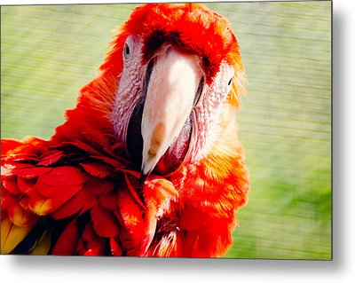 Red Macaw Metal Print by Pati Photography