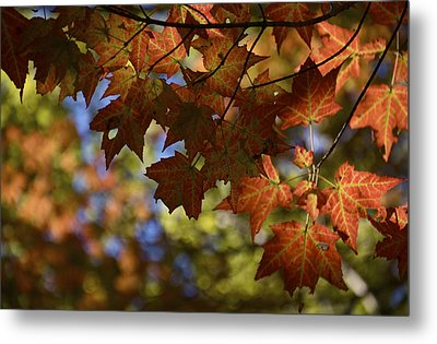 Red Maple Canopy Metal Print