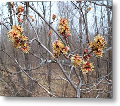 Red Maple In Flower Metal Print