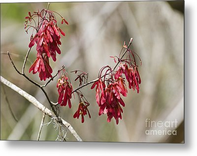 Red Maple In Spring Metal Print by William H. Mullins