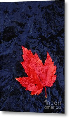 Red Maple Leaf And Black Stone - Fs000222 Metal Print by Daniel Dempster
