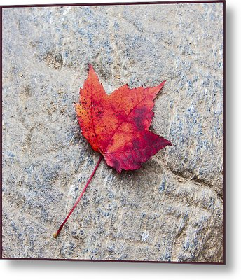 Red Maple Leaf On Granite Stone In A Square Format Metal Print by Karen Stephenson