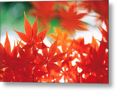 Red Maple Leaves Metal Print by Panoramic Images