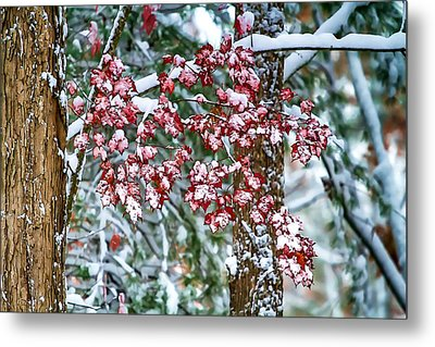 Red Maple With Snow Metal Print