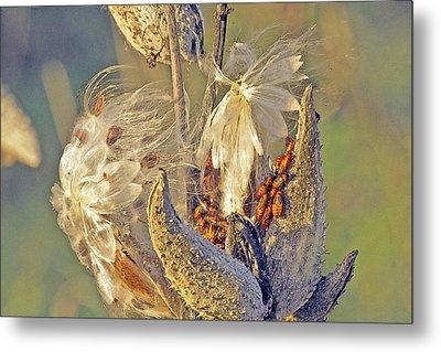 Red Milkweed Beetles Metal Print by Constantine Gregory