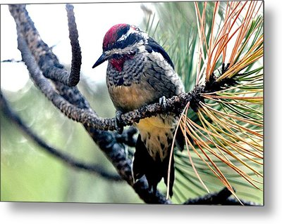 Red-naped Sapsucker On Pine Tree Metal Print