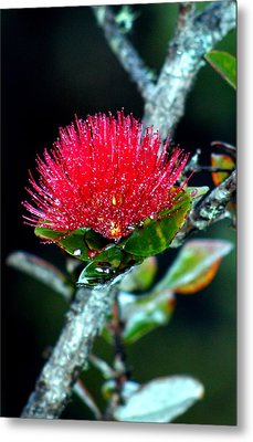 Red Ohia Lehua In Hawaii Volcano Mist Metal Print