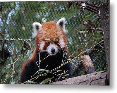 Red Panda Metal Print by Jade Thomas