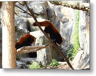 Red Panda - National Zoo - 011312 Metal Print by DC Photographer