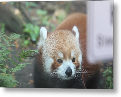 Red Panda - National Zoo - 01132 Metal Print by DC Photographer