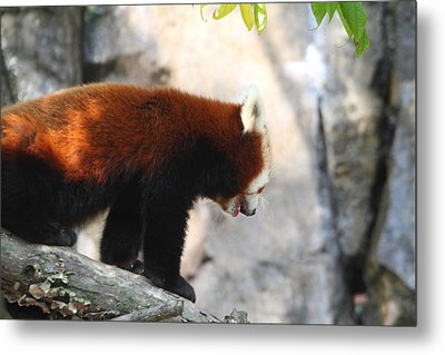 Red Panda - National Zoo - 01139 Metal Print by DC Photographer