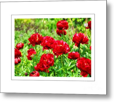 Red Peonis Metal Print by Elaine Manley
