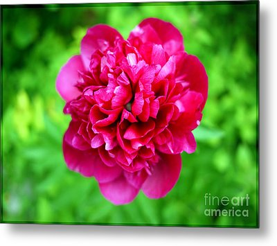 Red Peony Flower Metal Print by Edward Fielding