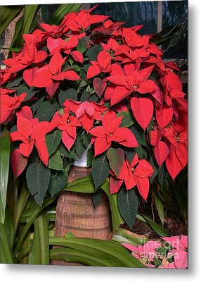 Red Poinsettia Metal Print by Kathleen Struckle