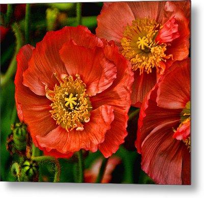 Red Poppies At Fort Worth Botanic Gardens Metal Print
