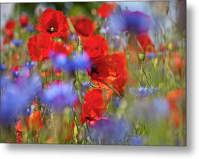 Red Poppies In The Maedow Metal Print by Heiko Koehrer-Wagner