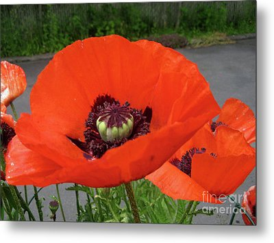 Metal Print featuring the photograph Red Poppy by Barbara Griffin