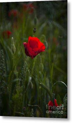 Red Poppy Metal Print by Svetlana Sewell