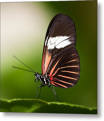 Metal Print featuring the photograph Red Postman Butterfly by Zoe Ferrie