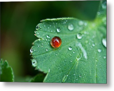 Metal Print featuring the photograph Red Rain Drop by Sabine Edrissi