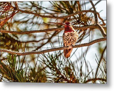 Red Rock Country Hummingbird Metal Print by Bob and Nadine Johnston