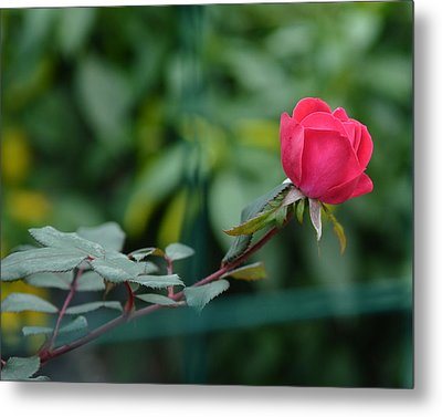 Metal Print featuring the photograph Red Rose I by Lisa Phillips