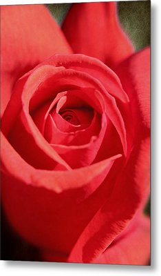 Metal Print featuring the photograph Red Rose by Lorella  Schoales
