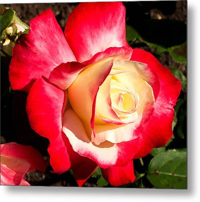 Red Rose Metal Print by Margaret Buchanan