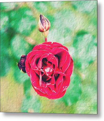 Red Rose Metal Print by Yew Kwang