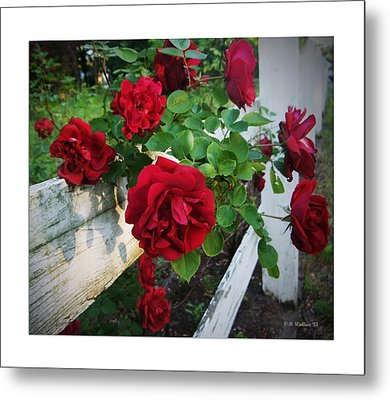Red Roses - White Fence Metal Print by Brian Wallace