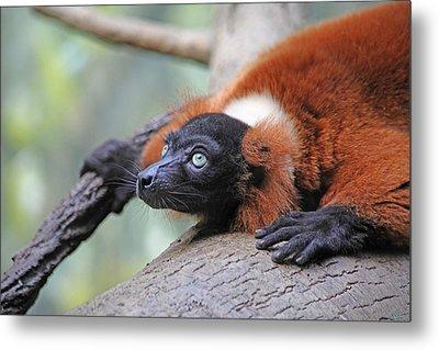 Red-ruffed Lemur Metal Print by Karol Livote