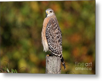 Red-shoulder Hawk Metal Print by Jennifer Zelik