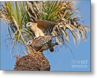 Red-shoulder Hawks Metal Print