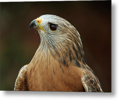 Metal Print featuring the photograph Red-shouldered Hawk by Doug Herr