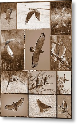 Red-shouldered Hawk Poster - Sepia Metal Print by Carol Groenen