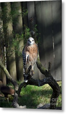 Red Shouldered-hawk Metal Print